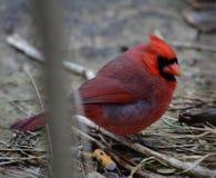 Um cardinal do norte fotos de stock royalty free