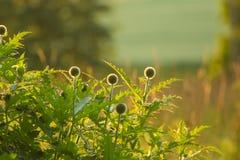 Um cardo decorativo bonito dirige na luz do por do sol Baixa luz da noite com alargamentos Foto de Stock