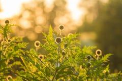 Um cardo decorativo bonito dirige na luz do por do sol Baixa luz da noite com alargamentos Fotos de Stock Royalty Free