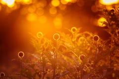 Um cardo decorativo bonito dirige na luz do por do sol Baixa luz da noite com alargamentos Fotografia de Stock Royalty Free
