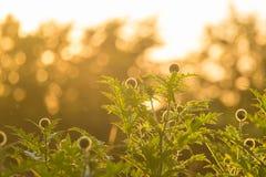 Um cardo decorativo bonito dirige na luz do por do sol Baixa luz da noite com alargamentos Imagem de Stock