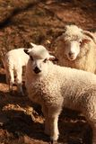 Um carneiro com um cordeiro fotografia de stock