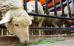 Um carneiro com fome Fotografia de Stock Royalty Free