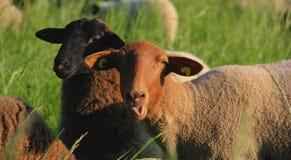 Um carneiro do prado foto de stock