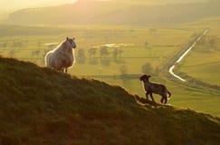 Um carneiro e seu cordeiro como o crepúsculo Fotos de Stock Royalty Free