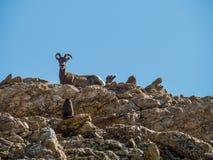 Um carneiro e um bebê grandes do chifre olham fixamente para baixo uma marmota Imagens de Stock