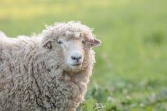 Um carneiro em um campo no fim da tarde Foto de Stock