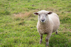 Um carneiro maduro que pasta em um campo Foto de Stock Royalty Free