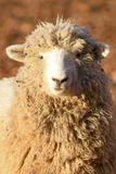 Um carneiro na luz do amanhecer Imagem de Stock Royalty Free