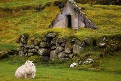 Um carneiro no campo verde perto da casa do relvado Fotos de Stock