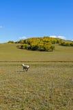 Um carneiro no prado Fotografia de Stock