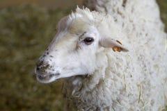 Um carneiro novo Imagens de Stock