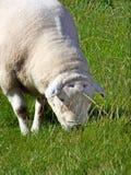 Um carneiro pasta quietamente em um campo na ilha de Iona, Escócia Foto de Stock