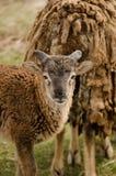 Um carneiro pequeno com chifres Fotografia de Stock
