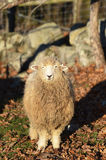 Um carneiro por uma parede de pedra Fotos de Stock Royalty Free