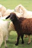 Um carneiro preto Fotografia de Stock Royalty Free