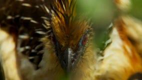 Um carolinus inchado vermelho masculino do Melanerpes do pica-pau foto de stock royalty free