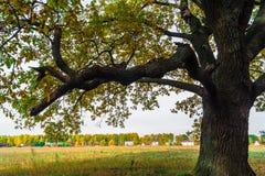 Um carvalho antigo velho poderoso, estando apenas na borda de um bosque do carvalho da relíquia outono dourado, folha amarela lux fotografia de stock royalty free