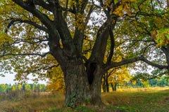 Um carvalho antigo velho poderoso, estando apenas na borda de um bosque do carvalho da relíquia outono dourado, folha amarela lux imagens de stock royalty free