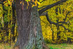 Um carvalho antigo velho poderoso, estando apenas na borda de um bosque do carvalho da relíquia outono dourado, folha amarela lux fotos de stock royalty free
