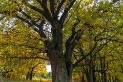Um carvalho antigo velho poderoso, estando apenas na borda de um bosque do carvalho da relíquia outono dourado, folha amarela lux foto de stock