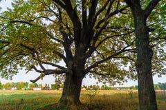 Um carvalho antigo velho poderoso, estando apenas na borda de um bosque do carvalho da relíquia outono dourado, folha amarela lux imagens de stock