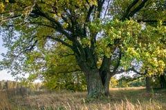 Um carvalho antigo velho poderoso, estando apenas na borda de um bosque do carvalho da relíquia outono dourado, folha amarela lux imagem de stock royalty free