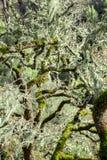 Um carvalho coberto no líquene do laço (menziesii de Ramalina) Imagens de Stock Royalty Free