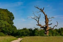 Um carvalho seco velho gigante fotos de stock royalty free
