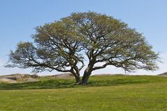 Uma árvore solitário Foto de Stock