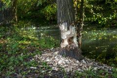Um castor saiu da metade do trabalho feita!!! A árvore é corte somente meio ao redor imagem de stock royalty free