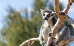 Um catta anel-atado do lêmure do lêmure na árvore Fotos de Stock Royalty Free