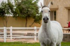 Um cavalo árabe imagens de stock