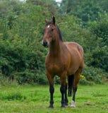 Um cavalo Fotografia de Stock Royalty Free
