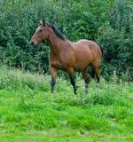 Um cavalo Imagens de Stock
