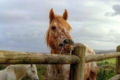 Um cavalo alaranjado da morango ou vermelho Roan/bonito puxa uma cara parva Fotos de Stock