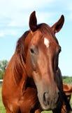 Um cavalo anda no campo O potro está andando com seus pais imagens de stock