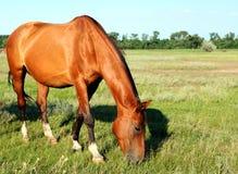 Um cavalo anda no campo O potro está andando com seus pais fotografia de stock royalty free