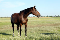 Um cavalo anda no campo O potro está andando com seus pais fotos de stock