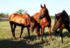 Um cavalo anda no campo O potro está andando com seus pais imagens de stock royalty free