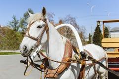 Um cavalo branco aproveitado a um carro Prendendo o carro ao colar de cavalo imagem de stock royalty free