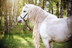 Um cavalo branco bonito no fundo de um bosque do vidoeiro foto de stock royalty free
