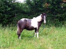 Um cavalo branco e preto Imagem de Stock