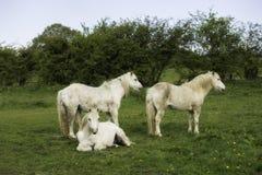 Um cavalo branco em um campo Fotografia de Stock