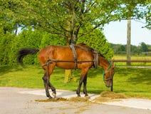 Um cavalo com o chicote de fios usado para puxar um vagão de amish imagens de stock
