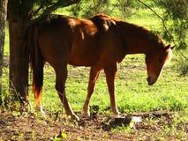 Um cavalo com um comichão Foto de Stock Royalty Free