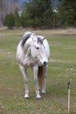O cavalo branco olha afastado. fotografia de stock