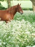Cavalo que está em flores selvagens imagens de stock royalty free