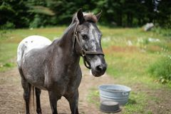 Um cavalo de Apaloosa imagens de stock