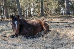 Um cavalo de baía está descansando o encontro na luz do sol da mola foto de stock